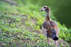 Egipska gąska, święty ptak Zdjęcia Royalty Free