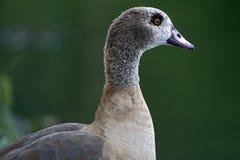 Egipska gąska, święty ptak Obrazy Royalty Free
