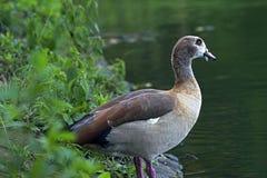 Egipska gąska, święty ptak Obrazy Stock