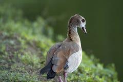Egipska gąska, święty ptak Zdjęcie Stock
