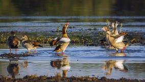 Egipska gąska w Kruger parku narodowym, Południowa Afryka Zdjęcia Stock