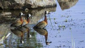 Egipska gąska w Kruger parku narodowym, Południowa Afryka Obrazy Stock