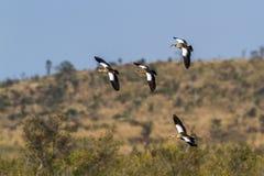 Egipska gąska w Kruger parku narodowym, Południowa Afryka Obraz Stock