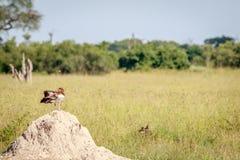 Egipska gęsia pozycja na termit górze Zdjęcia Stock