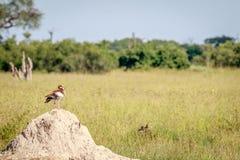 Egipska gęsia pozycja na termit górze Zdjęcie Royalty Free