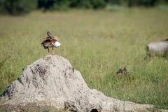 Egipska gęsia pozycja na termit górze Zdjęcie Stock