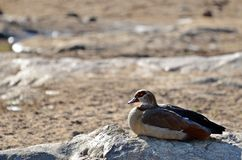 Egipska gąska (Alopochen aegyptiaca) Fotografia Stock