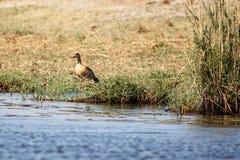 Egipska gąska - Chobe rzeka, Botswana, Afryka Obraz Royalty Free