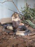 Egipska kobra przygotowywająca w zagrożenie pokazie Fotografia Stock