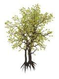 Egipski carissa drzewo, c edulis - 3D odpłacają się Obrazy Royalty Free