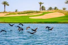 Egipski Gęsi latanie daleko od wody jako fotograf zbliża się obraz stock