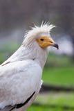 Egipski sęp Zdjęcie Royalty Free