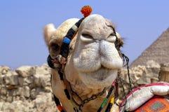 Egipski Wielbłąd Obrazy Stock