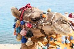 Egipski wielbłąd na wakacje Zdjęcie Stock