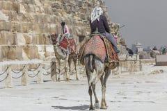 Egipski wielbłąd przy Giza ostrosłupów tłem Atrakcja turystyczna - Zdjęcie Stock