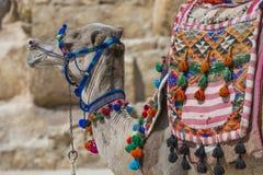 Egipski wielbłąd przy Giza ostrosłupów tłem Atrakcja turystyczna - Obraz Royalty Free