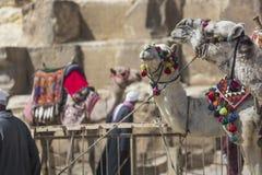 Egipski wielbłąd przy Giza ostrosłupów tłem Atrakcja turystyczna - Obraz Stock
