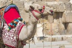 Egipski wielbłąd przy Giza ostrosłupów tłem Atrakcja turystyczna - Zdjęcia Stock