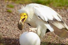 Egipskiego sępa Neophron percnopterus ptak zdobycz, przerwy a fotografia stock