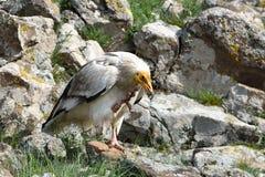 Egipskiego sępa chrobot w góry Zdjęcia Royalty Free