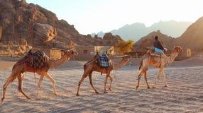 EGIPT, sharm-el-sheikh, STYCZEŃ 12, 2015: Egipska chłopiec prowadzi Zdjęcie Royalty Free