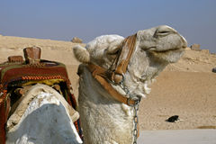 Egiptu wielbłądów Obraz Stock