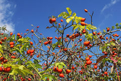 Eglantine. Ripe hip roses on branch with leaves Stock Images