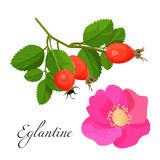 Eglantine blossom and branch with red fruits set Stock Photography