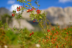 Eglantine. Briar against the sky and mountains. Shallow depth of field Stock Images