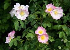Eglantine. Four flowers of wild roses in the park Royalty Free Stock Image