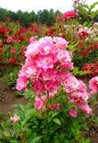 Eglantine Rose Imagens de Stock