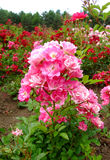 Eglantine Rose Stock Images