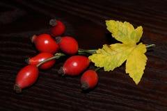 Eglantine, rosehip Fotografia Royalty Free