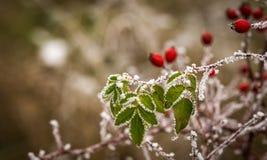 Eglantine. Winter detail on frostbitten wild rose-hips Stock Image