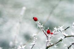 Eglantine. Winter detail on frostbitten wild rose-hips Royalty Free Stock Photos