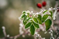 Eglantine. Winter detail on frostbitten wild rose hips Stock Photos