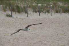 Żeglowania seagull na plaży Obrazy Royalty Free