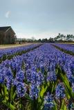 Egmond-binnen, die Niederlande - April 2016: Blaues Hyazinthenflowerfield und -Gutshäuser lizenzfreie stockbilder