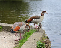 Egyptian Geese with their chicks on a riverbank Stock Photos