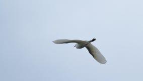 Egre скотин ibis Bubulcus Стоковые Изображения