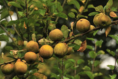 Egremont Russet apples (Organic). A branch full of organic Egremont apples seen in October, an old cultivar, dating back to Shakesperian times, and a delicious royalty free stock photos