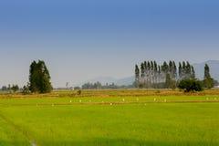 Egres i risfält för solnedgång royaltyfria foton