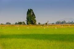 Egres no campo do arroz antes do por do sol fotografia de stock
