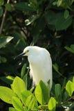 Egret на тропической водоросли с темной листвой на заднем плане стоковая фотография
