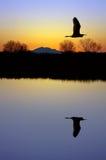 egret över damm Royaltyfri Foto