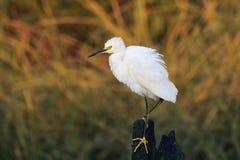 egret śnieżny Fotografia Royalty Free