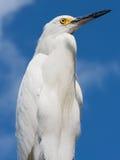 egret śnieżny Zdjęcia Royalty Free