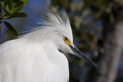 egret śnieżny Fotografia Stock