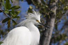 egret śnieżny Obraz Stock
