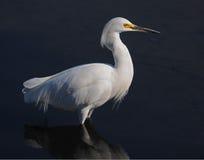 egret śnieżny profilowy Zdjęcie Royalty Free